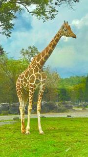 緑豊かな緑のフィールドの上にキリンの立ってるの写真・画像素材[993653]