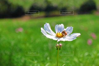 お花畑の一輪の花の写真・画像素材[4381557]