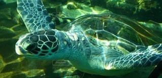 水族館のウミガメの写真・画像素材[2697369]
