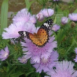 ストケシアの花の蜜を頂きに…の写真・画像素材[2755706]