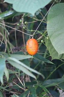 夏の終わり、ひときわ目立つオレンジ色。烏瓜。の写真・画像素材[2761053]