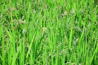 稲の写真・画像素材[2653519]
