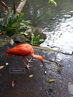 赤い鳥の写真・画像素材[2482137]