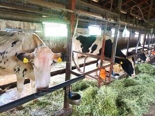 牛舎の写真・画像素材[2479168]