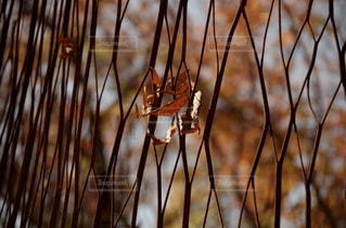フェンスの枯れ葉の写真・画像素材[2487529]