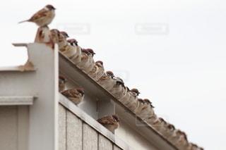 屋根に並ぶ雀の写真・画像素材[2493878]