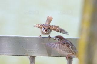 餌をねだる子雀の写真・画像素材[2502490]