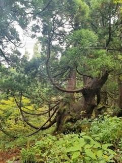 大佐渡石名天然杉の天然杉の写真・画像素材[2582184]