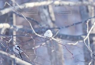 冬の妖精シマエナガの写真・画像素材[2604709]