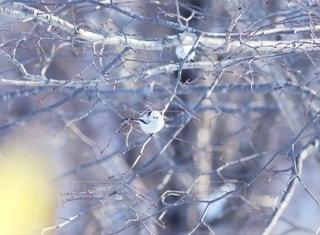 冬の妖精シマエナガの写真・画像素材[2604711]