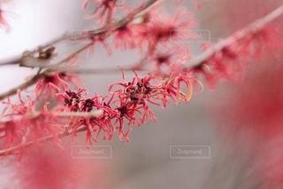 赤いマンサクの写真・画像素材[2624351]