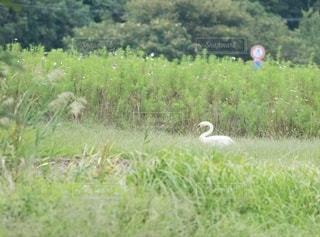 草原の白鳥の写真・画像素材[2648274]