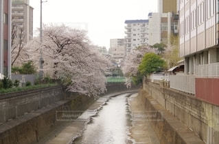 川に架かる桜の写真・画像素材[2737549]