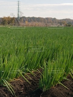 長ネギ畑の写真・画像素材[2769295]