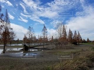 台風で倒れた大木の写真・画像素材[2782726]