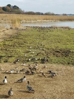 草地にゾロゾロと上がってくる鴨達の写真・画像素材[2794193]