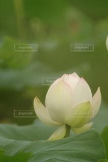 蓮のクローズアップの写真・画像素材[2854294]