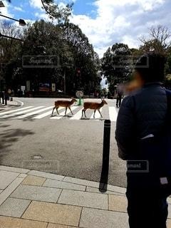 横断歩道を渡る鹿の写真・画像素材[3012648]