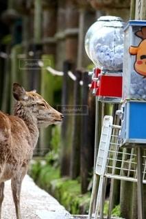 ガチャガチャがやりたい鹿の写真・画像素材[3012874]