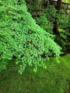 苔ともみじの美しい緑の写真・画像素材[3385245]