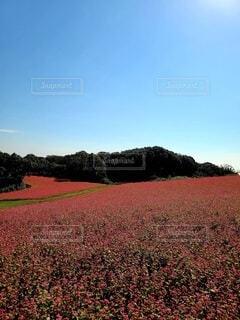 一面のソバ畑の写真・画像素材[3809349]