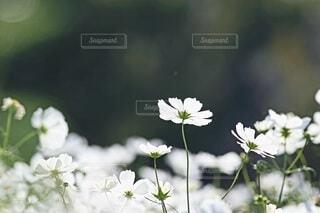 白いコスモスの写真・画像素材[3833770]