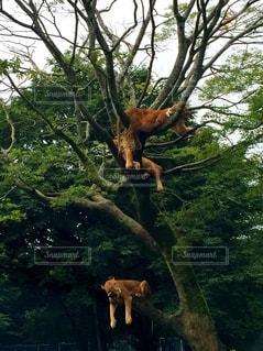 木に垂れるライオンの写真・画像素材[2495700]