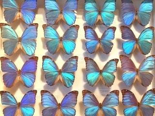 蝶々の標本の写真・画像素材[2511668]