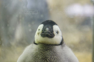 皇帝ペンギン雛ちゃんウインクの写真・画像素材[1135420]