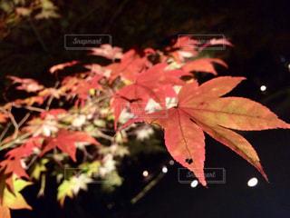 夜と紅葉の写真・画像素材[2484062]