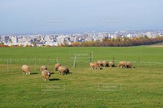 札幌羊ヶ丘展望台の羊の写真・画像素材[2496028]