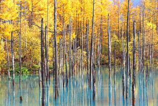 紅葉が見頃の青い池の写真・画像素材[2497656]