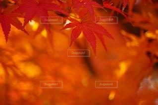 真っ赤に紅葉するもみじの写真・画像素材[2499549]