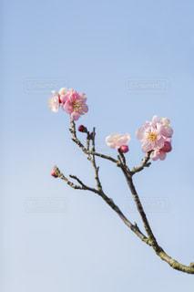 ピンク色の梅の花の写真・画像素材[2487505]