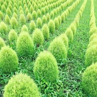 可愛いコキア畑の写真・画像素材[2489586]