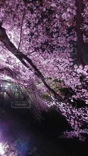 夜桜の写真・画像素材[2489853]