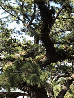 松の木の写真・画像素材[2714376]