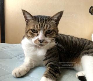 テーブルの上に座っている猫の写真・画像素材[2743319]