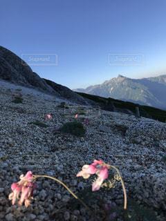コマクサと槍ヶ岳の写真・画像素材[2585961]