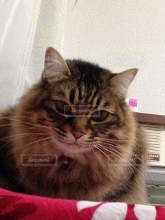 猫の写真・画像素材[102132]
