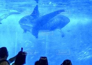 ジンベイザメの写真・画像素材[2669812]