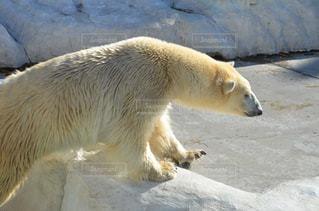 動物園の囲いの中のホッキョクグマの写真・画像素材[2501981]