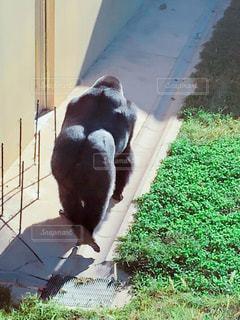 後ろ姿のシャバーニの写真・画像素材[2603396]