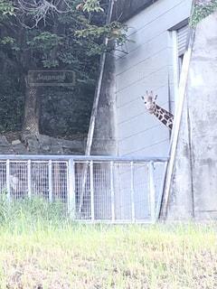 ひょっこり キリン  可愛い〜 笑の写真・画像素材[2607029]