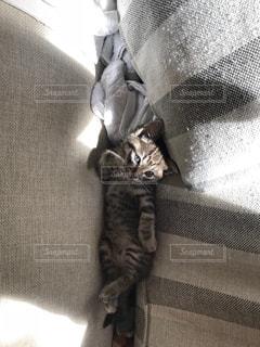 カメラを見ている猫の写真・画像素材[2499479]