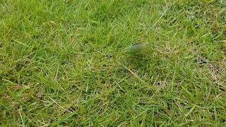 芝生の上にいるカマキリの写真・画像素材[2499279]