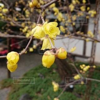 黄色い花の写真・画像素材[2864996]