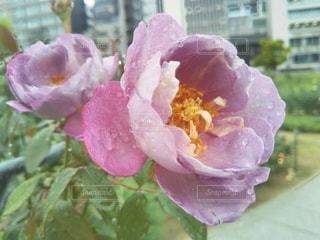 雨に濡れる薔薇の写真・画像素材[2669906]
