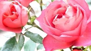 花のクローズアップの写真・画像素材[2503578]