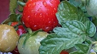 雨もしたたる美味しそうなトマトの写真・画像素材[2506541]